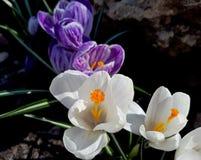 Härliga krokusar stänger sig upp, de första vårblommorna i blomsterrabatten fotografering för bildbyråer