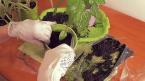 Härliga kvinnliga händer i vita torkdukehandskar will douch jorden i en kruka med en husväxt Sammansättning husväxter stock video