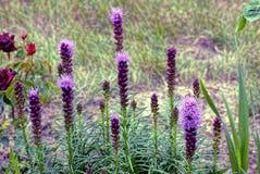 Härliga långa dekorativa blommor i sommaren arbeta i trädgården Royaltyfri Fotografi