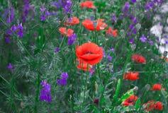Härliga lösa blommor - vallmo, blåklinter royaltyfria foton