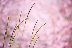 Härliga lösa Himalayan Cherry Flower Fotografering för Bildbyråer