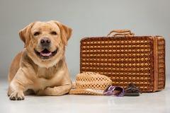 Härliga labrador med resväskan Fotografering för Bildbyråer