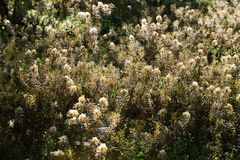 Härliga labradors för ett träsk som växer i naturlig träsklivsmiljö Våtmarklandskap med vårblomman Arkivbild