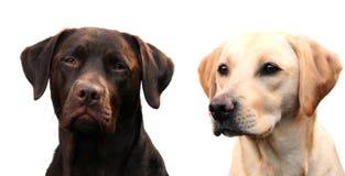 härliga labradors två Arkivbild