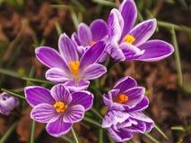 Härliga lila krokusar Arkivbilder