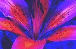 Härliga liljablom i vår arkivfoton