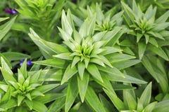 Härliga liljastammar med gröna sidor Royaltyfria Foton