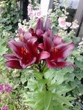 Härliga liljor i trädgård! Arkivfoton