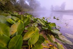 Härliga liljor på en sjö Royaltyfri Foto