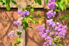 Härliga lilor blommar på väggbakgrund av Thailand Royaltyfri Bild