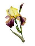 Härliga lilor och gul svärdslilja på vit bakgrund vattenfärg Arkivbilder
