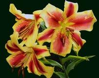 Härliga lilys Arkivfoto