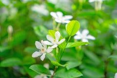 Härliga liten och nätt stjärnklara rena vita kronblad av den doftande blomman för snöflinga som blommar på den gröna sidabusken u arkivbild