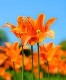 Härliga ljusa orange tulpan och blury blå himmel för blomma för japan Cherryclose för bakgrund blom- tree fjäder upp Arkivfoto