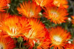 Härliga ljusa orange Vygie eller orange blommor för isväxt en suckulent från Lampranthus de Aureus suckulenterna fotografering för bildbyråer