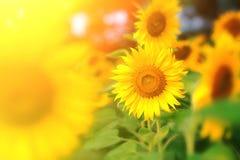 Härliga ljusa solrosor på solrosfältet Royaltyfri Fotografi