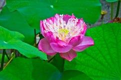 Härliga Lotus Arkivbilder