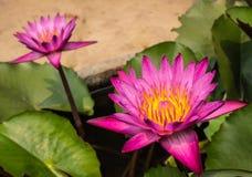 Härliga Lotus Arkivfoto