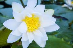 Härliga lotusblommabakgrunder royaltyfri bild