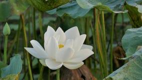 Härliga lotusblommablommor arkivfilmer
