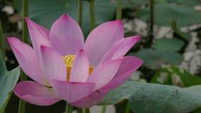 Härliga lotusblommablommor lager videofilmer