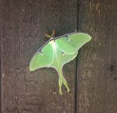 Härliga Luna Moth Royaltyfria Bilder
