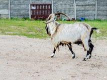 Härliga mång--färgade getter och getter med horn och ull Fotografering för Bildbyråer