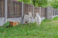 Härliga mång--färgade getter och getter med horn och ull Royaltyfria Foton