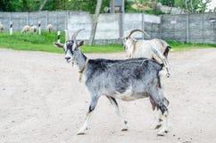 Härliga mång--färgade getter och getter med horn och ull Arkivfoto