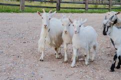 Härliga mång--färgade getter och getter med horn och ull Royaltyfria Bilder