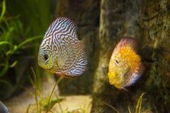 Härliga mönstrade fiskar i akvarium Arkivbilder