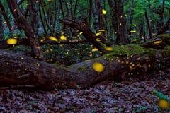 Härliga magiska eldflugor i sommaren på den förtrollade felika skogen Arkivbilder