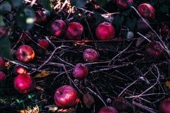 Härliga magiska röda äpplen på jordyttersidan i fruktträdgårdträdgården som tonas med instagramfilter i retro tappningfärg Arkivbild