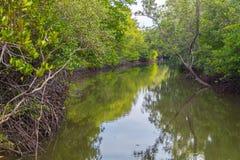 Härliga mangroveträd på floden royaltyfri foto