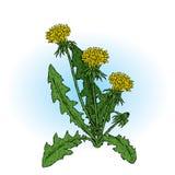 härliga maskrosor också vektor för coreldrawillustration Växter och blommor vektor illustrationer
