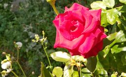 Härliga mjuka röda rosor arkivbilder