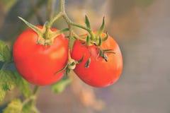 Härliga mogna röda tomater på en buske Royaltyfri Fotografi