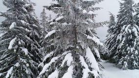 Härliga molniga vintergran-träd arkivfilmer