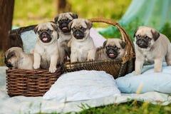 Härliga mopshundvalpar i en korg utomhus på sommardag Arkivfoto