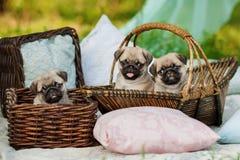Härliga mopshundvalpar i en korg utomhus på sommardag Royaltyfria Bilder