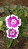 Härliga naturliga blommor av Sri Lanka arkivfoto
