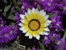 Härliga naturliga blommor - färgrik guling, vit, lila Royaltyfri Bild