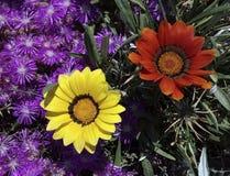 Härliga naturliga blommor - färgrikt rött, gult, lila Arkivbilder