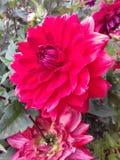 Härliga naturliga dahliablommor för röd färg av Sri Lanka royaltyfri foto