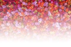 Härliga naturliga röda rosor blommar bakgrund för speciala tillfällen Royaltyfri Bild