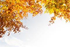 Härliga nedgångträdfilialer, ljus bakgrund royaltyfri bild