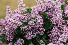 Härliga nya purpurfärgade violetblommor Slut upp av purpurfärgade blommor Vårblomma, en filial av lilan Lila buske, lila Arkivbilder