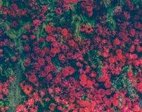 Härliga nya röda rosor och olika typer av röda blommor december Arkivfoto