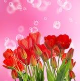 Härliga nya röda tulpan på abstrakt bakgrund Royaltyfri Bild