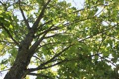 Härliga nya vårsidor av lönnträdet Arkivfoto